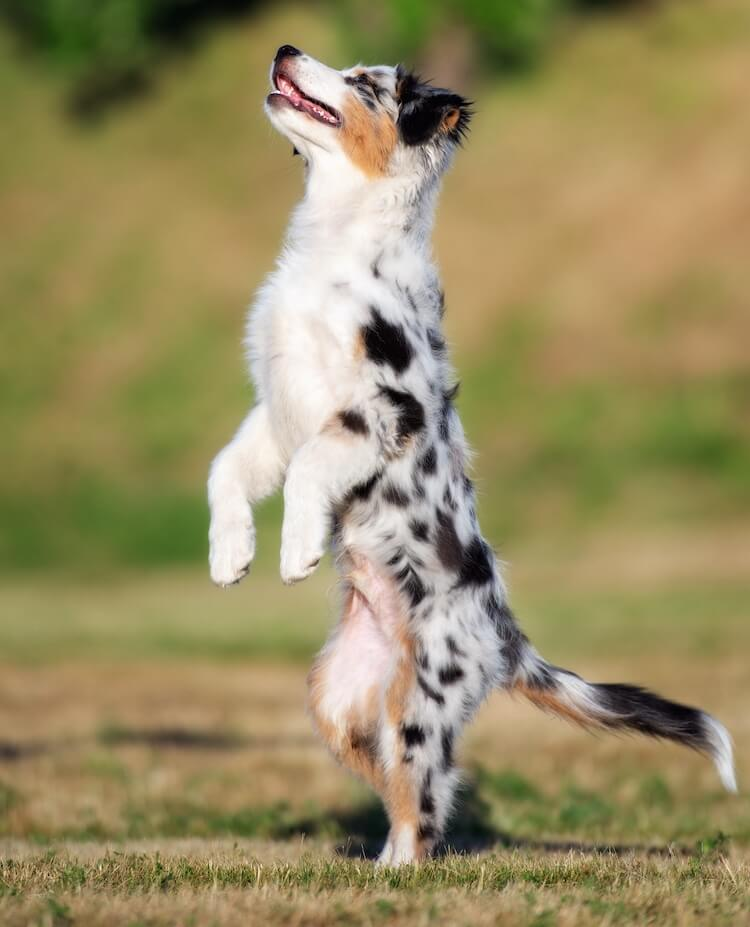 A Mini Aussie standing on its hind legs