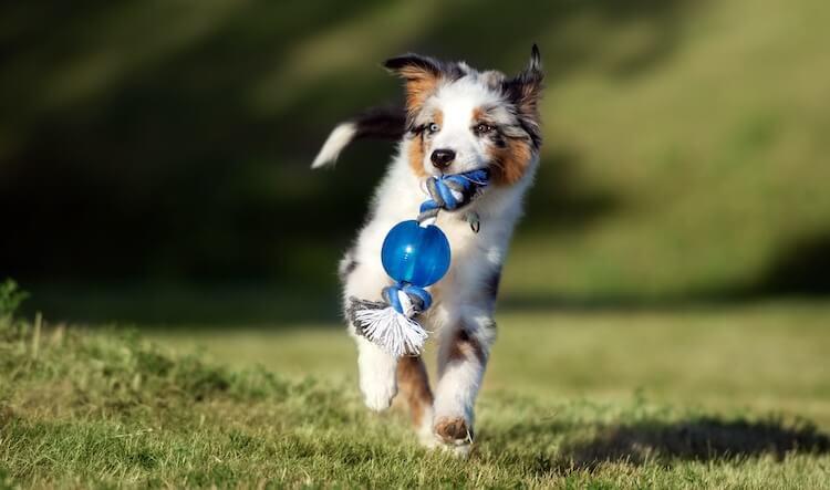 A Mini Australian Shepherd plays with a toy