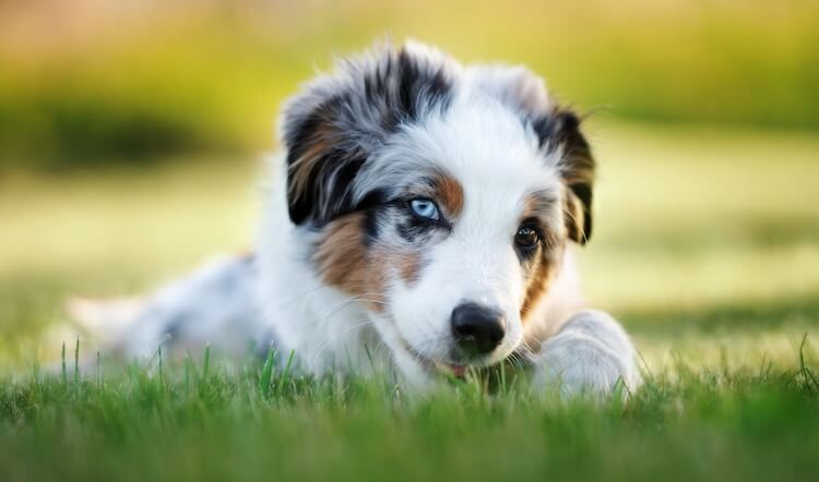 Close up of a Mini Aussie puppy with heterochromia