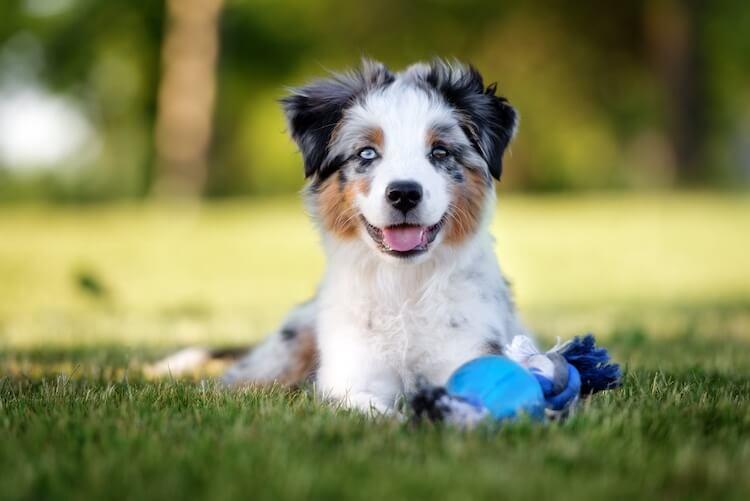Mini Australian Shepherd puppy lying in the grass