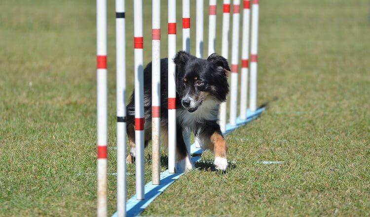 Mini Australian Shepherds excel in the agility circuit