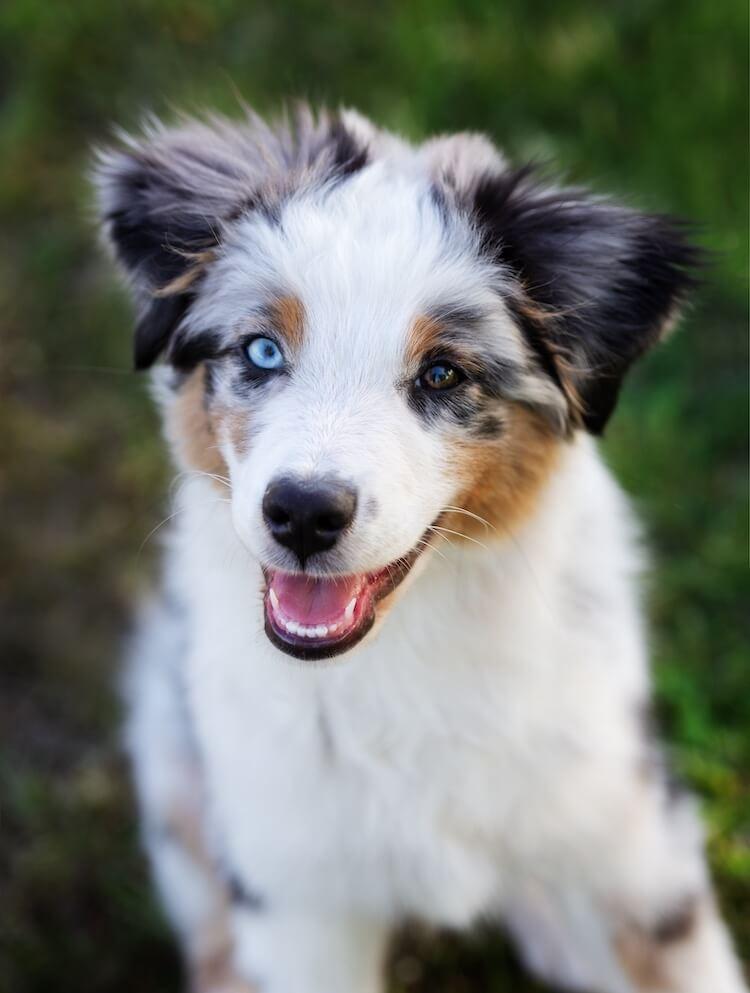 Miniature Australian Shepherd Portrait