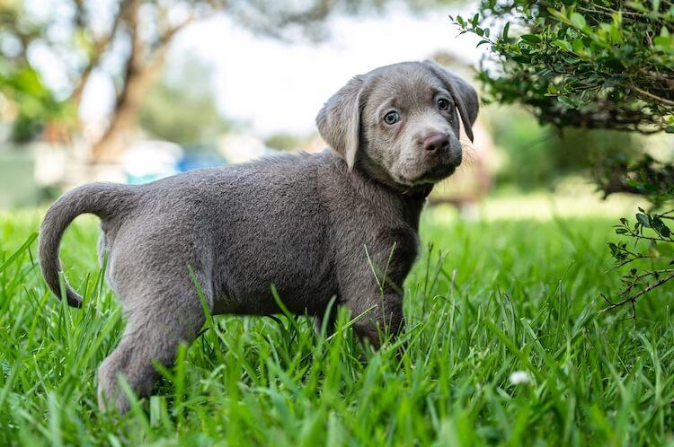 Silver Lab Puppy Side Profile