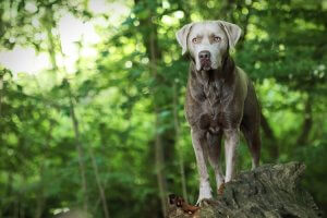 Silver Labrador Retriever standing on a branch