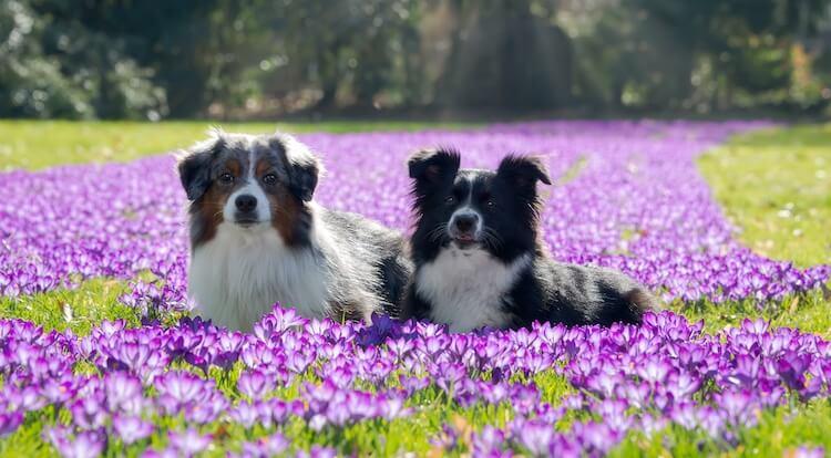 Two Mini Australian Shepherds standing side by side
