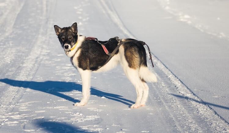 Alaskan Husky Names