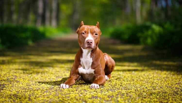 American Pit Bull Terrier Lying Next To Yellow Flowers