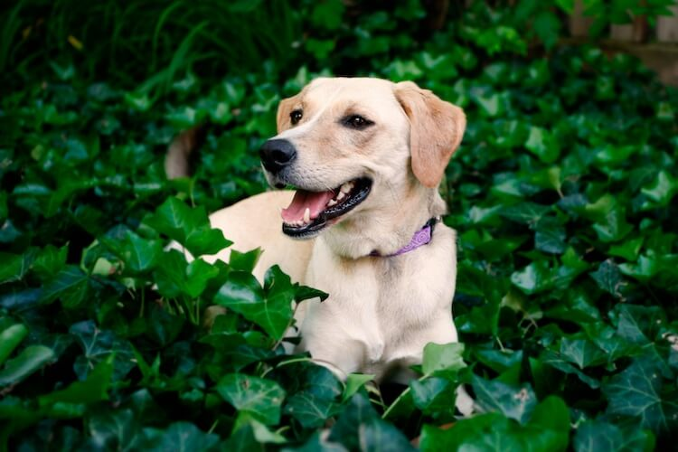 Beagador (Beagle and Lab Mix)