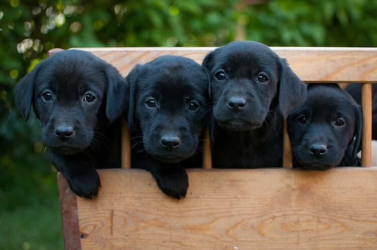 Black Dog Breeds Feature