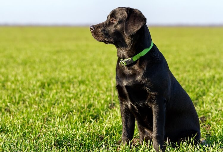 Black English Lab looking into the distance