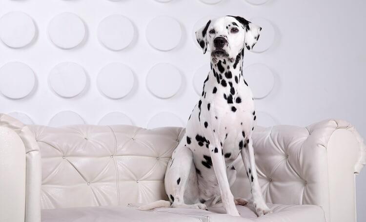 Black and White Dalmation Dog