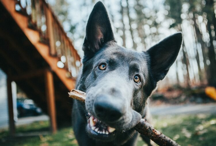 Blue German Shepherd Dog Carrying A Stick