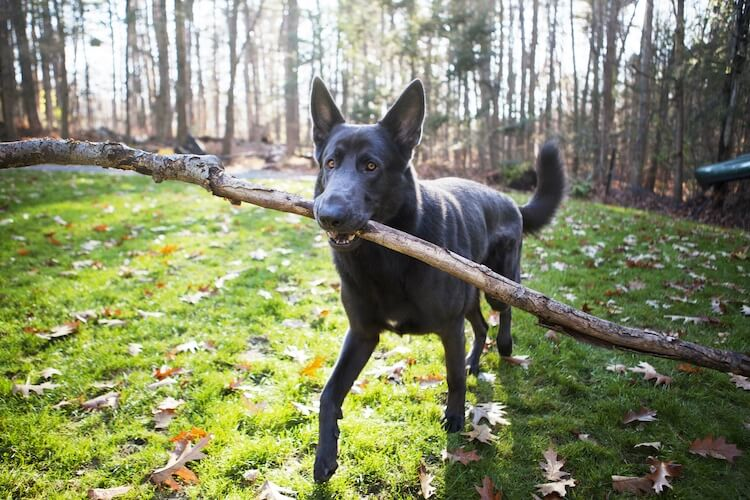 Blue German Shepherd Dog Feature