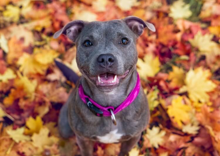 Blue Staffordshire Bull Terrier standing in the Autumn leaves