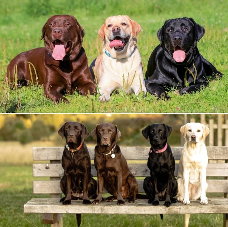 English Labrador vs. American Labrador Feature