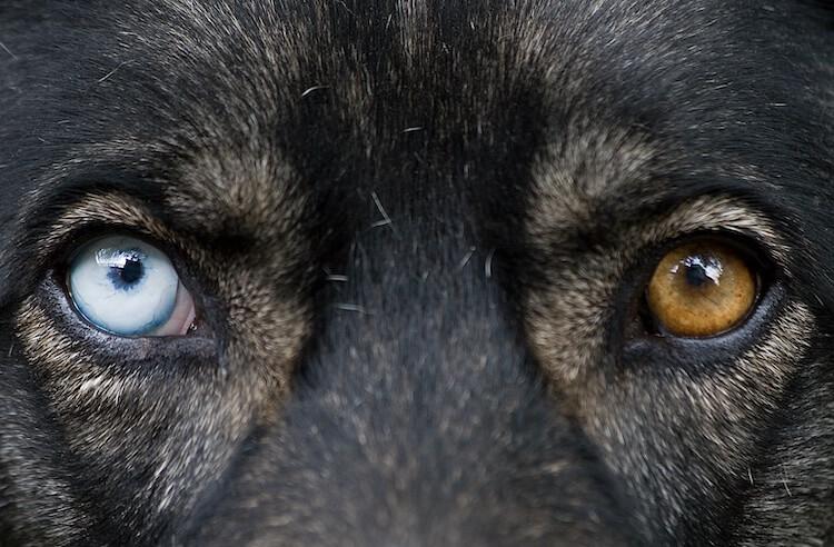 German Shepherd Eyes