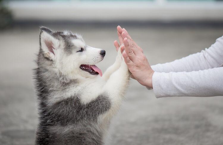 Husky Puppy High Five