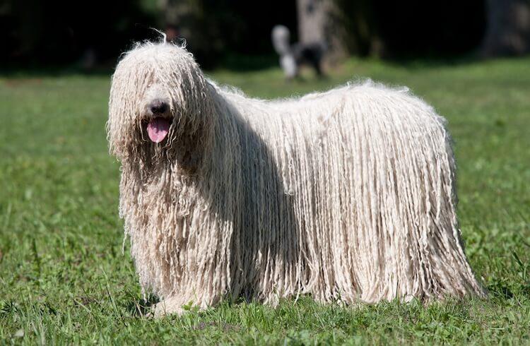 Komondor Mop Dog