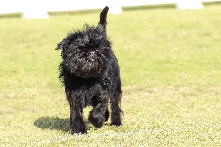 Small Black Affenpinscher Dog