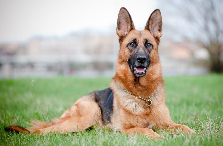 Tan and Black German Shepherd Dog