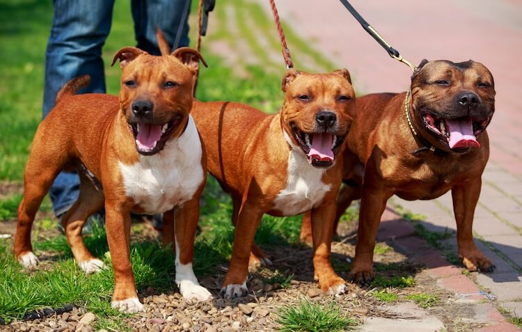 Three Red American Staffordshire Terriers Panting
