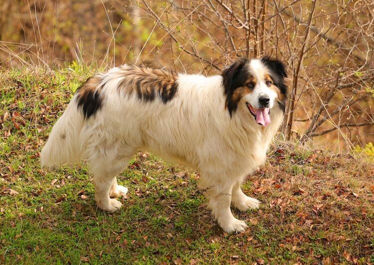 Tornjak Tri Color Dog Breed