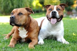 Two American Staffordshire Terriers