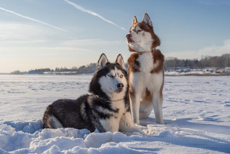 Two Male Husky Dogs