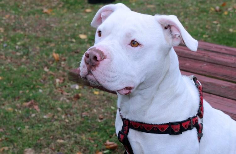 White American Pitbull Terrier