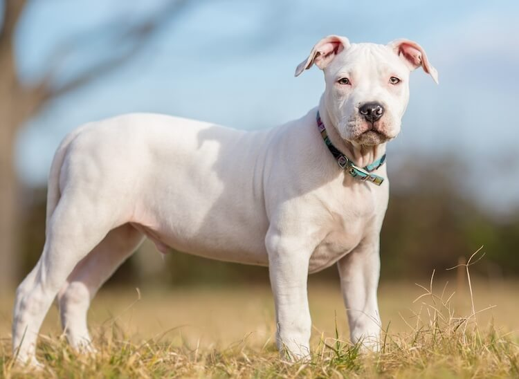 White American Staffordshire Terrier