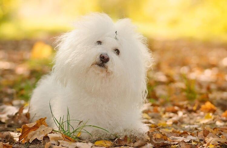 White Bolognese Dog