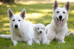 White Fluffy Dog Breeds Feature