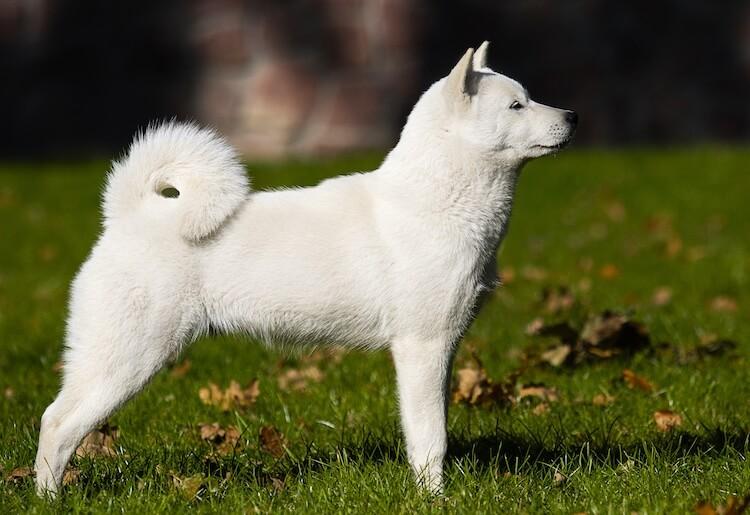 White Hokkaido Dog