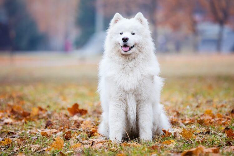 White Samoyed Dog
