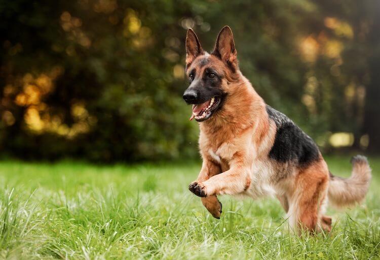 Wolf Dog Mix