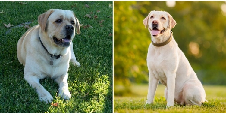 Yellow English Lab vs. American Lab