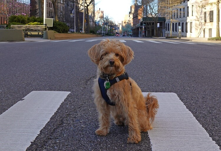 Apricot Schnoodle