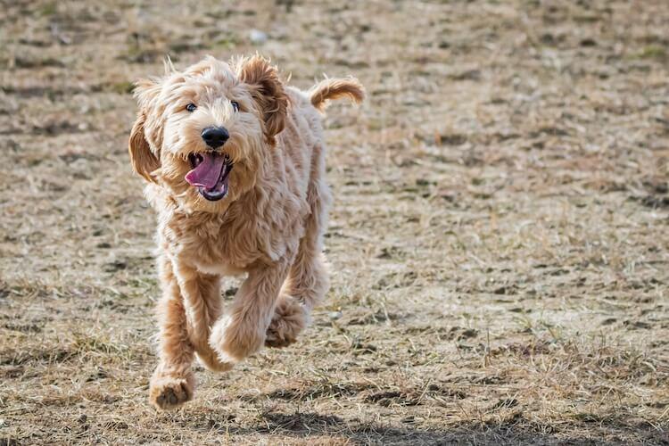 Australian Labradoodle Dog Running