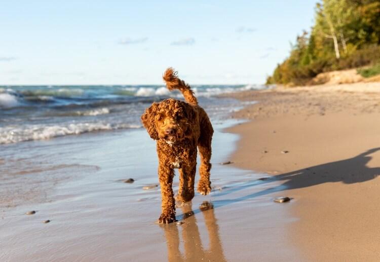 Australian Labradoodle Walking On a Beach