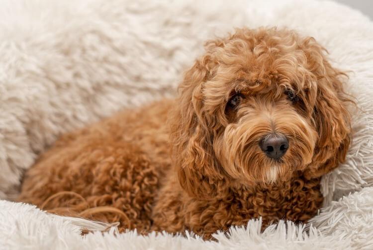 Cavapoo Teddy Bear Dog