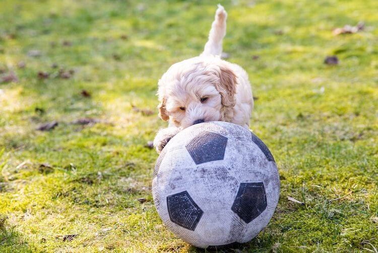 Cream Mini Australian Labradoodle Playing With A Ball