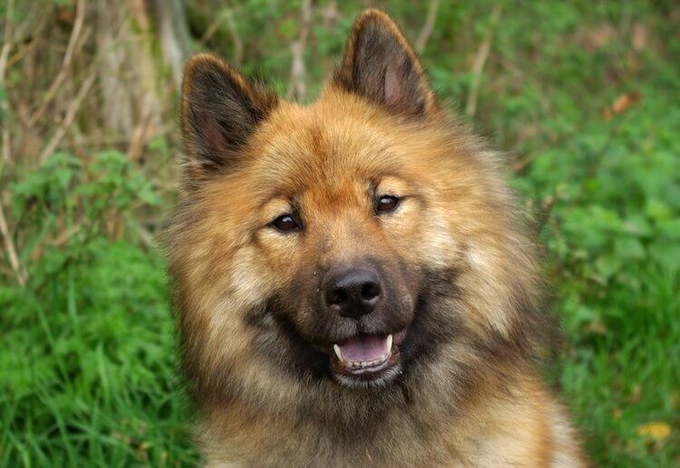 Eurasier Dog