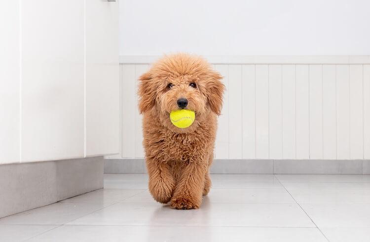 F2 Mini Goldendoodle Puppy