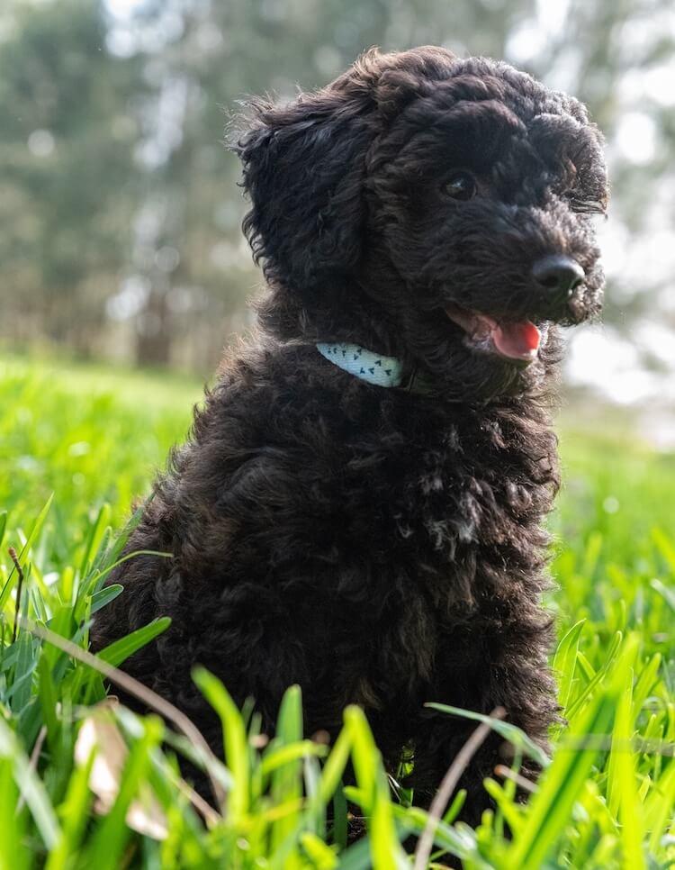 Black Fluffy Schnoodle Puppy