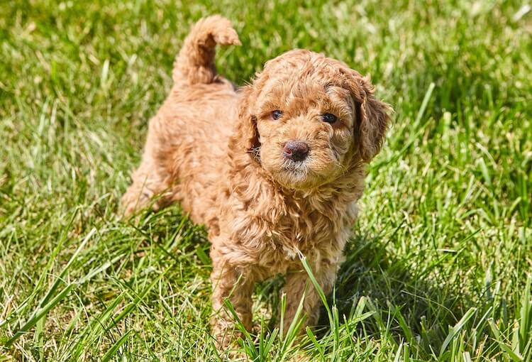 Mini Goldendoodle puppy standing in tall grass.