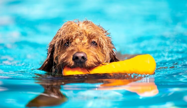 Puppy Golden Retriever Mix Swimming
