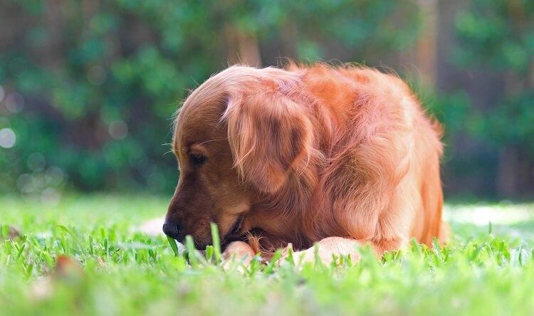Red Golden Retriever Dog