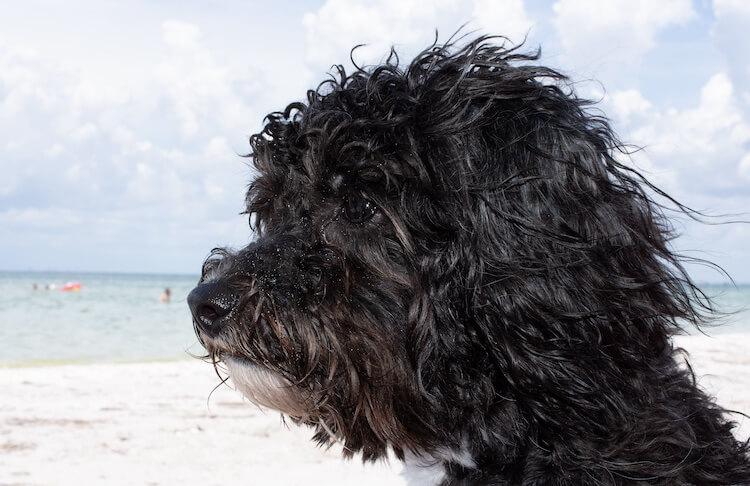 Schichon Dog