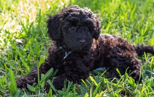 Black Schnoodle puppy lying down in the grass.