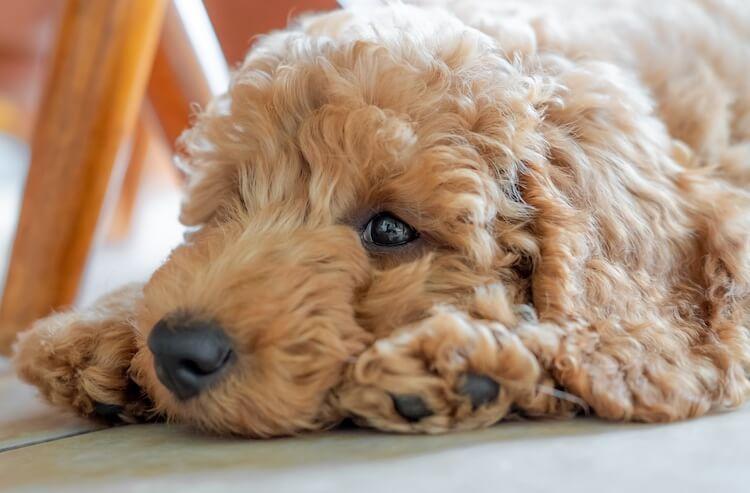 Tan Mini Goldendoodle